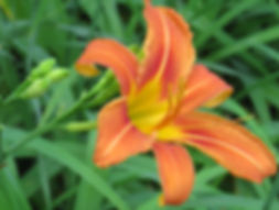 photograph of a lily, photograph of a day lily, photo of an orange flower, photograph of a garden, floral photograph, photograph by Jodi DiLiberto