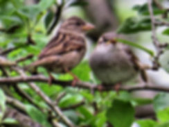 Photograph of two sparrows,photograph of a pair of sparrows,photograph of birds, photo of birds, photograph of summer, photograph by Jodi DiLiberto