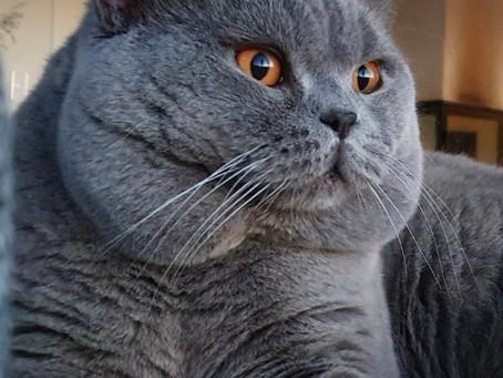Skendräktiga Katter