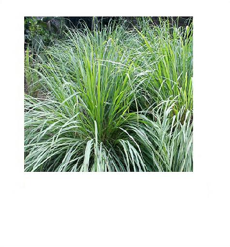 lemongrass1.png