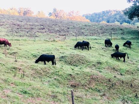 Neighboring Cows