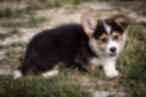 pembroke corgi puppy