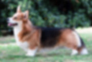 wallfugh Ink to Nireno Picture pembroke corgi
