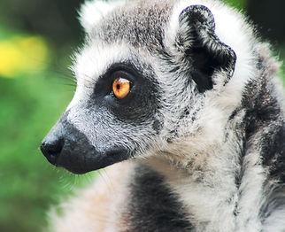 Lemur_edited.jpg