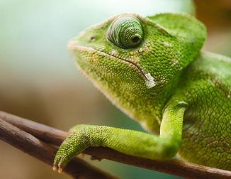 Chameleon%20on%20a%20Branch_edited.jpg