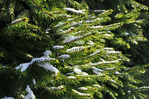 fir-tree-76773_1920.jpg