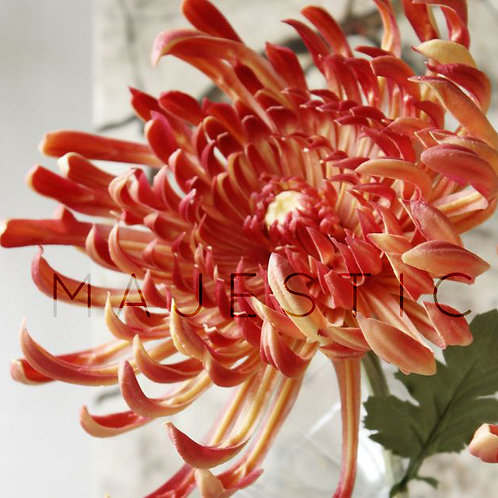 Хризантема Красная / Сhrysanthemum Red
