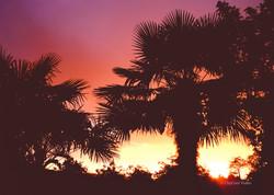 Palmiers Trachycarpus