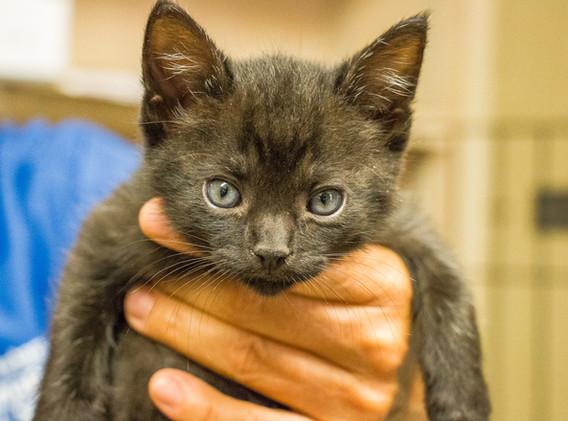 Cuddly Kitten at Santa Barbara Humane