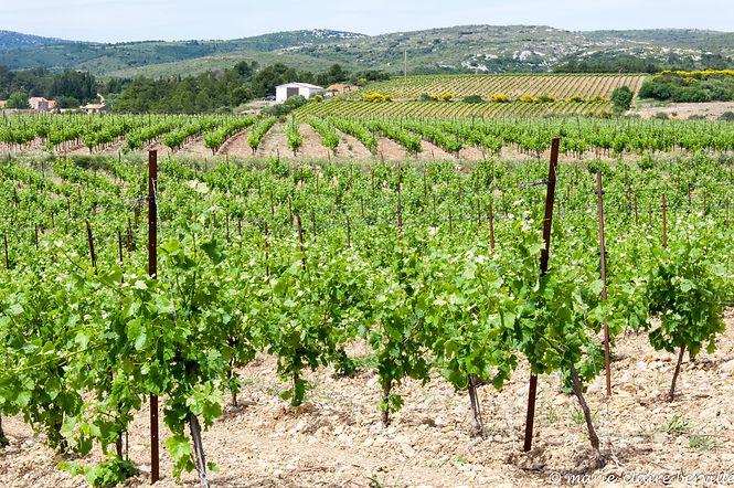 9-La vigne et le vin, Vincent-.jpg