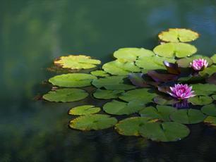 צמחי מים