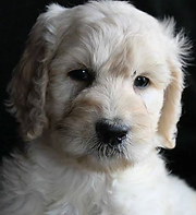 Quality Breeder Of Goldendoodle Puppies Serving Ny Nj