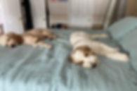 guardian dogs.jpg