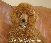 Goldendoodle breeders
