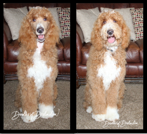 wrigley poodle and doodle.PNG
