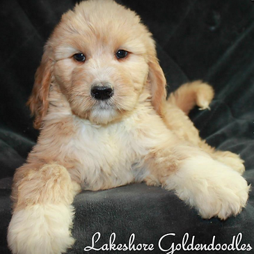 Quality Breeder Of Goldendoodle Puppies Serving Ny Nj Conn And Mass
