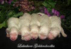 English Cream Goldendoodles