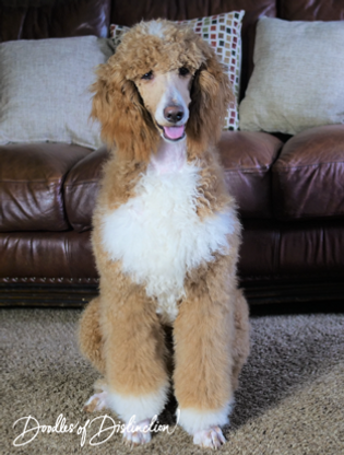 buddy poodle 2.PNG