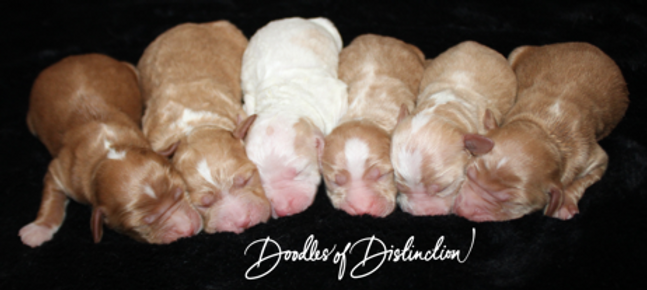brookly willy puppies.PNG