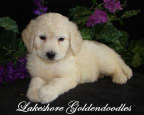 English cream goldendoodles