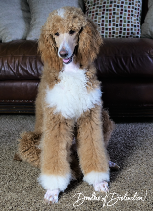 buddy poodle 4.PNG