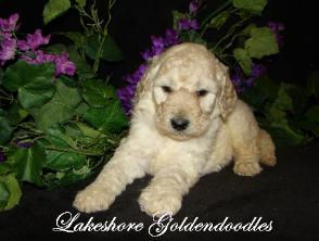 Miniature goldendoodles