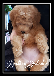 tsoukalis puppy.PNG