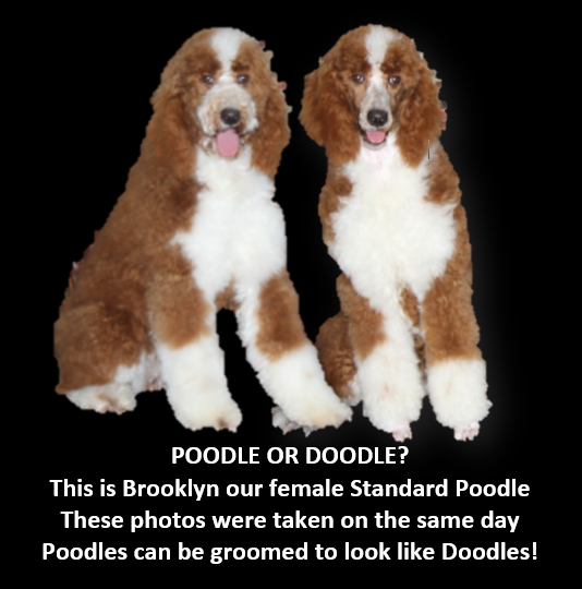 poodle or doodle brooklyn ad.PNG
