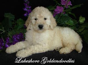 miniature and standard goldendoodle puppies