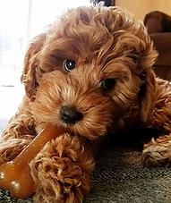 charlie bella pup.PNG