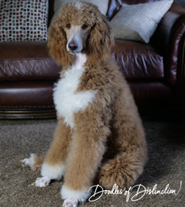 buddy poodle 3.PNG