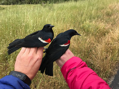 TRBL males in hand - C Wyckoff.jpg