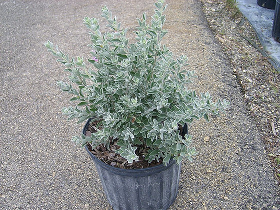 Texas Sage Silver or Green 3 Gallon