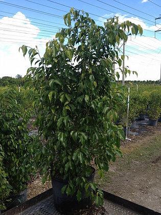 Ficus Benjamina 7 Gallon