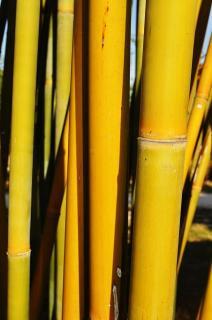 "Emerald Bamboo ""Bambusa Textilis Mutabilis"""