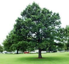 Southern Yellow Pine Tree