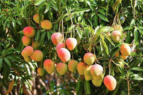 mango-tree-1.jpg