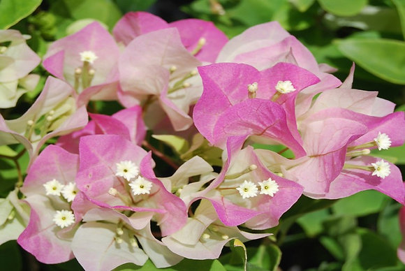 Bougainvillea Imperial Delight