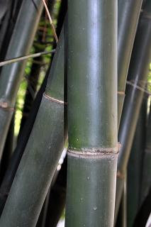 "Seabreeze or Maling Bamboo ""Bambusa Malingensis"""