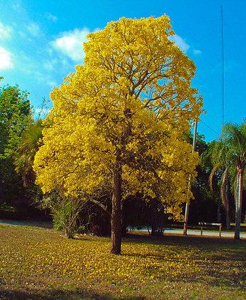Gold Trumpet Tree
