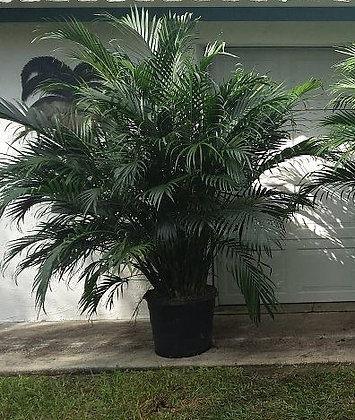 Cat Palm 15 Gallon 5-6 Feet