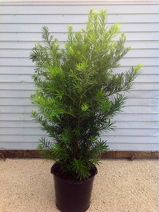 Podocarpus 15 Gallon 5-6 Feet