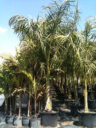 Royal Palm 25 Gallon 10-12 Feet