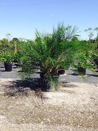 Pygmy Date Palm 7 Gallon 2-3.5 Feet