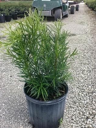 Podocarpus 3G