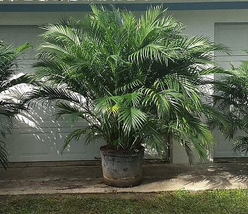 Cat Palm 25 Gallon 9-10 Feet