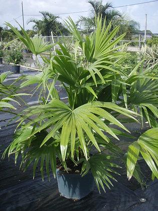 Chinese Fan Palm 7 Gallon 3-4 Feet