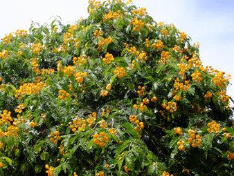 Vera Wood Tree