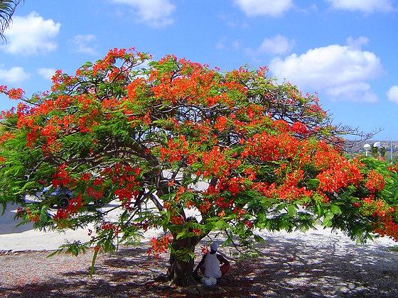 Orange Geiger Tree