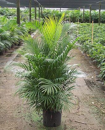Areca Palm 7 Gallon 5 Feet